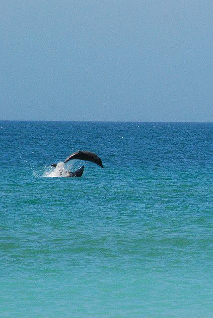 Dolphins --venice-beach-florida